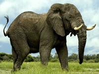 African Elephant image