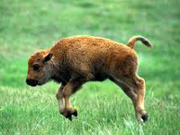 American Bison Baby