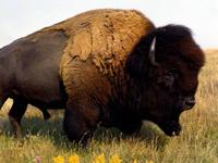 American Bison image
