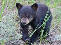 American Black Bear Baby