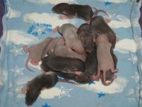 American Mink Baby