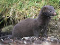 American Mink image