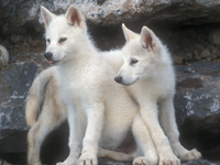 Arctic Wolf Baby