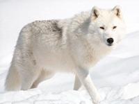 Arctic Wolf image