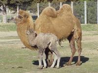 Bactrian Camel Baby