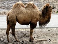 Bactrian Camel image