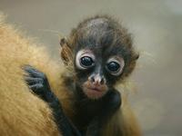 Black Spider Monkey Baby