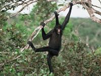 Black Spider Monkey image