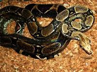 Boa Constrictor image
