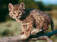 Bobcat Baby