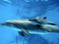 Bottlenose Dolphin Baby