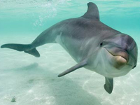 Bottlenose Dolphin image