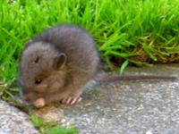 Brown Rat Baby