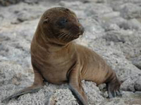 California Sea Lion Baby