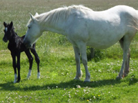 Camargue Horse Baby