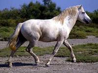 Camargue Horse image