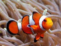 Clownfish image
