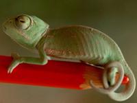Common Chameleon Baby
