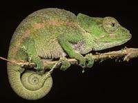 Common Chameleon image