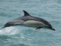 Common Dolphin image