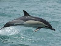 Common Dolphin image