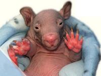 Common Wombat Baby
