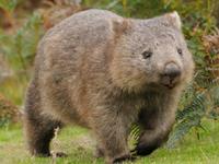 Common Wombat image