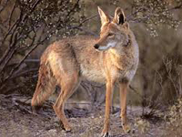 Coyote image