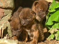 Dhole Baby