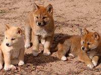 Dingo Baby