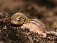 Eastern Chipmunk Baby