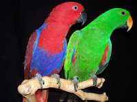 Eclectus Parrot image