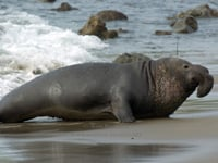 Elephant Seal image