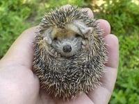 European Hedgehog Baby