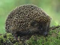 European Hedgehog image