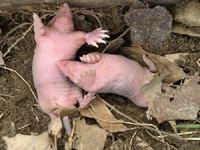 European Mole Baby