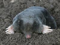 European Mole image