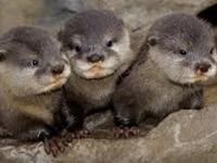 European Otter Baby