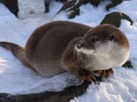 European Otter image