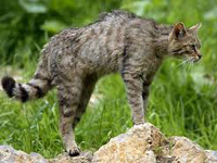 European Wildcat image