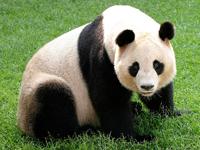 Giant Panda image