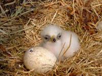 Golden Eagle Baby