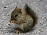 Gray Squirrel Baby
