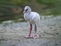 Greater Flamingo Baby
