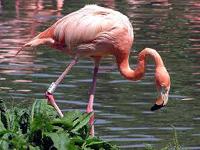 Greater Flamingo image