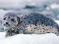 Harbor Seal Baby