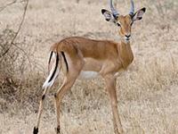 Impala image