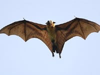 Indian Flying Fox image