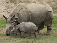 Indian Rhinoceros Baby