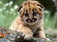 Mountain Lion Baby